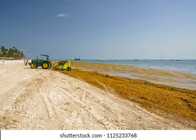 Punta Cana, Dominican Republic - June 17, 2018: : sargassum seaweeds on ocean beach in Bavaro, Punta Cana. Due to global warming, the altered ocean current bring sargasso to Dominican Republic coast.