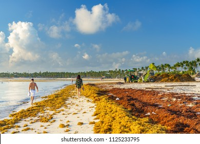 Punta Cana, Dominican Republic - June 19, 2018: : sargassum seaweeds on ocean beach in Bavaro, Punta Cana. Due to global warming, the altered ocean current bring sargasso to Dominican Republic coast.