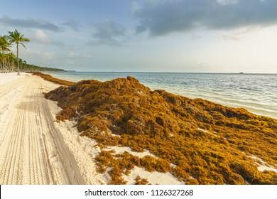 Punta Cana, Dominican Republic - June 25, 2018: : sargassum seaweeds on ocean beach in Bavaro, Punta Cana. Due to global warming, the altered ocean current bring sargasso to Dominican Republic coast.