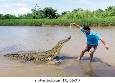 Puntarenas, Jaco / Costa Rica: 10/27/14: Tour Guide Hand Feeding Large Crocodile on the Tarcoles River