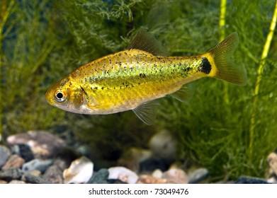 Puntius semifasciolatus - aquarium fish