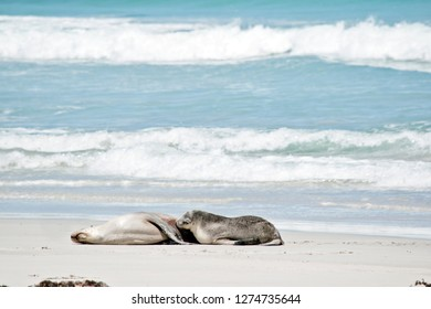 the pup is suckling its mother on the beach