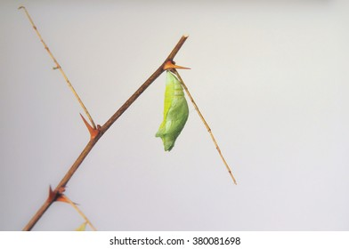 Pupa of the butterfly
