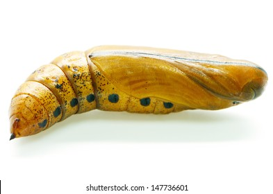 Pupa of Daphnis nerii (formerly Deilephila nerii), known as the Oleander Hawk-moth Or Army Green Moth, is a moth of the Sphingidae family