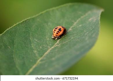 pupa of a ladybird