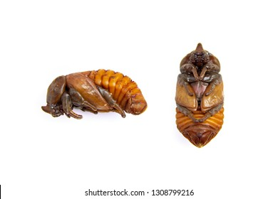 Pupa from larvae of coconut rhinoceros beetle is insect pests and problem of coconut plantation and palm. isolated on white background.