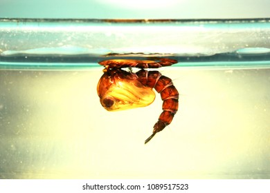 Pupa of mosquito in dirty water
