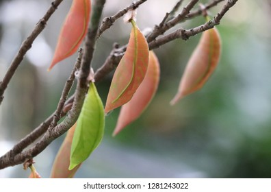 Pupa pastel color on tree brancn in the garden cycles of butterfly animal