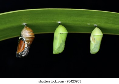 pupa of Plain Tiger Butterfly