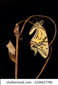 Pupa and Swallowtail Papilio machaon butterfly after metamorphosis on black