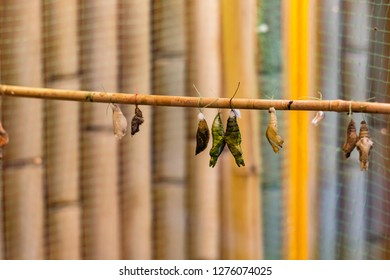 Pupae of butterflies suspended on bamboo sticks. The breeding of butterflies in artificial conditions.