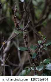 Pupae of butterflies suspended on branch.