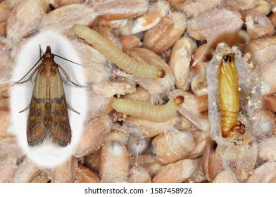 Pupae larvae and adult insect of Indian mealmoth Plodia interpunctella of a pyraloid moth of the family Pyralidae. It is common pest of stored products and pest of food in homes.