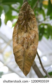 Pupas of butterfly are on brown leaf.
