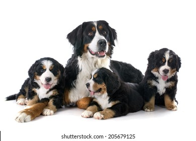 pupies and adult bernese mountain dog in front of white background