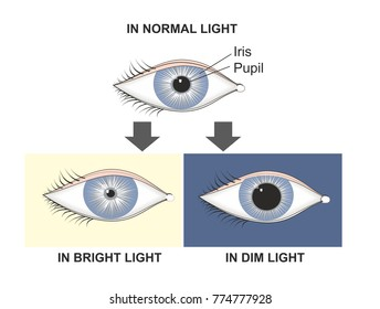 The pupillary reflex controls the diameter of the pupil, in response to the light. The pupil dilates in the dark or dim and constricts in the brigth light.