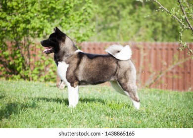 puppies of american akita  in grass