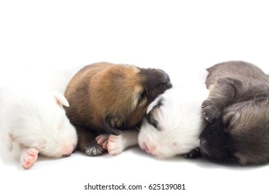 Puppies are cute Thai Bangkaew dogs 1 week. White background