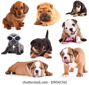 Puppies of different breeds, Dachshund, Shar Pei, Rottweiler, Bulldog, French Bulldog.