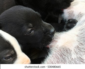 Puppies drinking milk