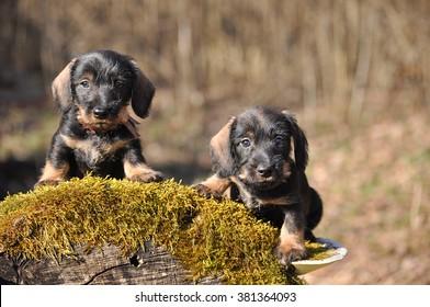 Puppies first outdoor walk