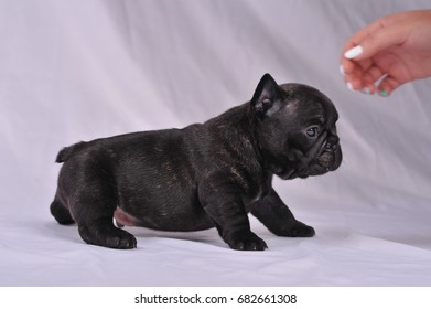 Puppies of a French bulldog on a white background