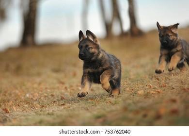 Puppies of the German Shepherd