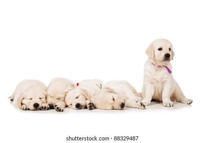 Puppies golden retriever, sleeping on a white background