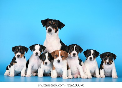 Puppies Jack Russell mom