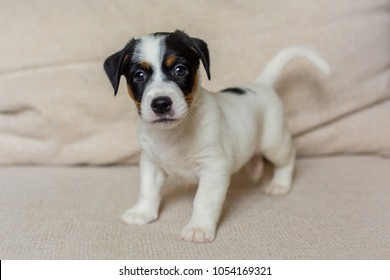 Puppies of jack Russell terrier family with dog mother feeding all together and alone three color sitting looking straight black holding hands