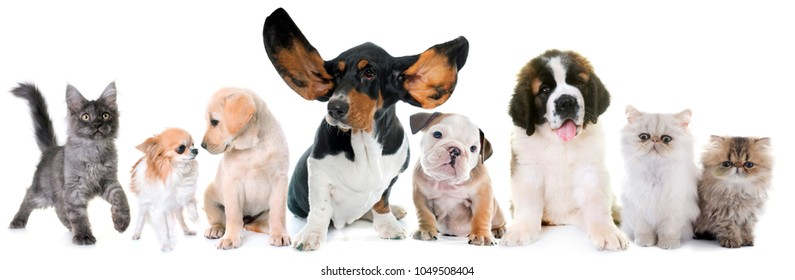 puppies and kitten in front of white background
