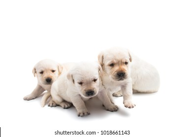 puppies labrador isolated on white background