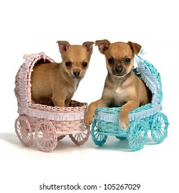 Puppies male and bitch in baby carriages, isolated on white