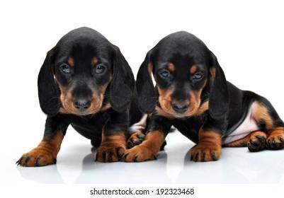 Puppies on a white background. Dachshund