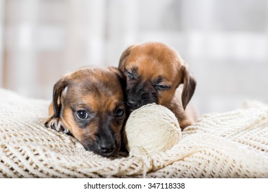 Puppies playing with a ball of yarn