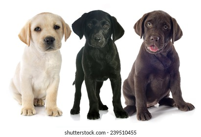 puppies purebred  labrador retriever in front of white background