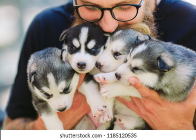 Puppies Siberian Husky. Litter dogs in the hands of the breeder. Little puppies.