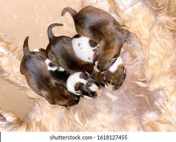 Puppies sleeping with mama dog