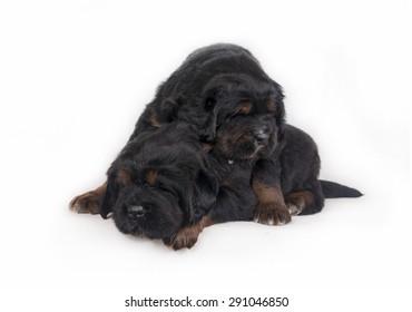 Puppies Tibetan Mastiff