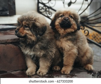 Puppies of the Tibetan mastiff are in the basket