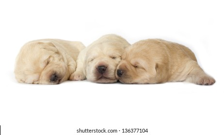 puppies white isolated