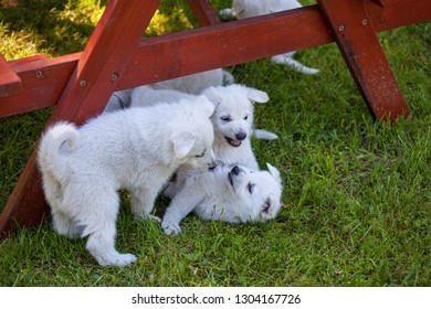 puppies of a white Swiss sheep-dog play in the garden