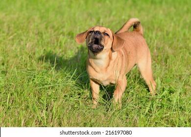 Puppy 10 weeks barks Puggle Dog Designer Dog Mops and Beagle