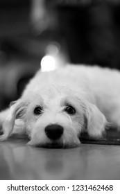 Puppy for adoption. White dog lying on the abandoned ground. White dog for adopt. Vertical dog photo.