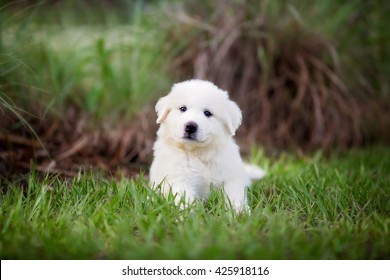 Puppy: Adorable Great Pyrenees puppy sitting in the grass