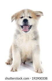 puppy akita inu in front of white background