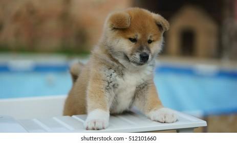 Puppy Akita Inu most devoted dog