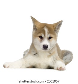 puppy Akita Ken in front of white background