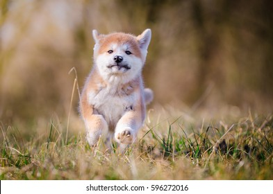 Puppy of akita in spring time