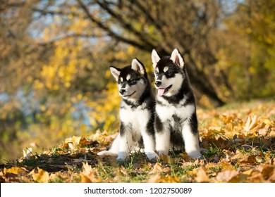 puppy of alaskan malamute in autumn background